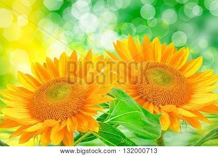 Close up of sunflower bright beautiful plant