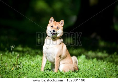 Shiba inu sitting portrait outdoor at summer