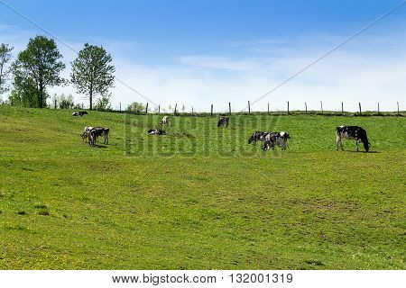 Holstein Friesians cattle breed in the pasture. They are known as the world's highest-production dairy animals.