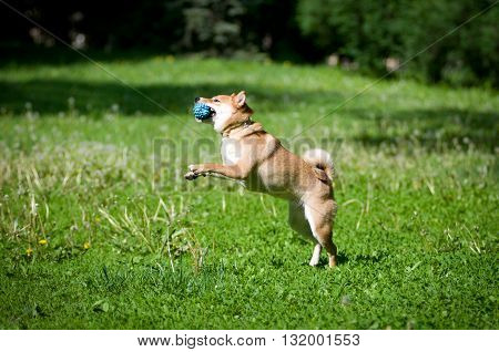 Shiba inu portrait playing with red ball outdoor at summer