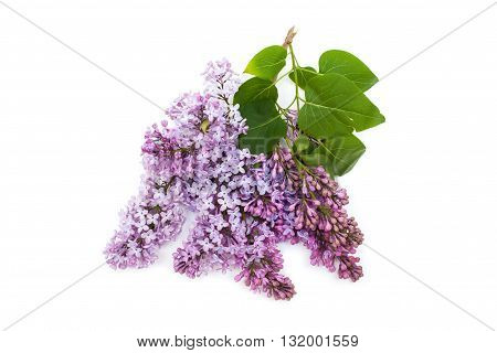 Purple Lilac Branch, Isolated On White Background