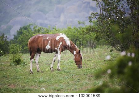 Spotted horse grazing on a green meadow