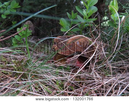 Close, but low boletus growing in the Carpathian forest after the rain.