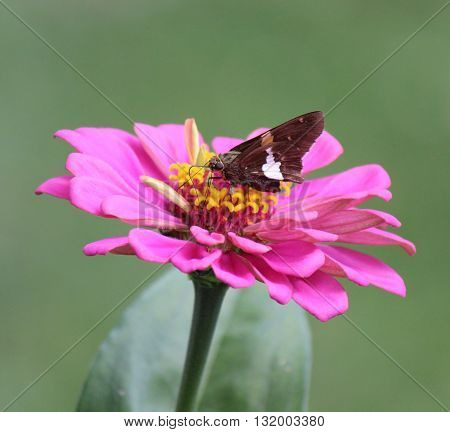 A moth feeds on nectar from a blossoming flower