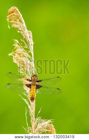 Broad-bodied chaser Female - Libellula depressathe or Broad-bodied darter is one of the most common dragonflies in Europe and central Asia.