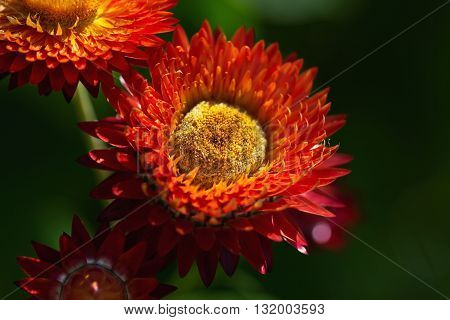 Flowers Helichrysum Arenarium. Medicinal plant. Beautiful floral background. Selective focus