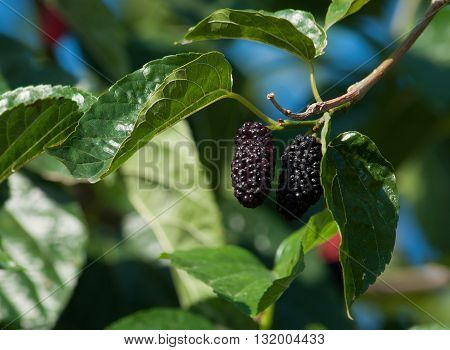 black ripe mulberries and red unripe mulberries on the branch. fresh mulberries