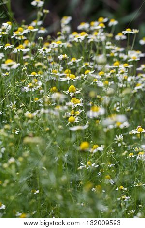 The bush healing chamomile. The shallow depth of field.