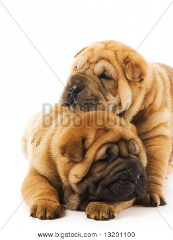 Two sharpei puppies