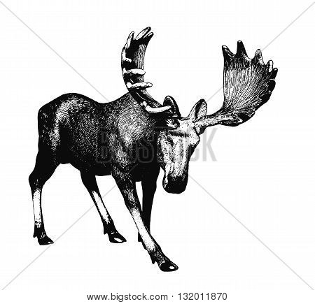 Elk. Ink drawing. There is an option in the vector.
