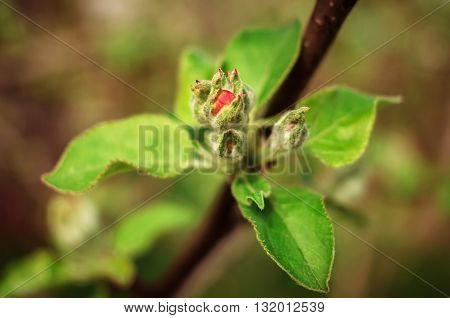 pink bud spring fruit tree on a blurred background. Spring leaves of the tree. Soft focus shallow depth of field.