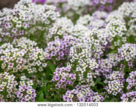 Close-up detail of clusters of white and purple flowers. Home and gardening concept.