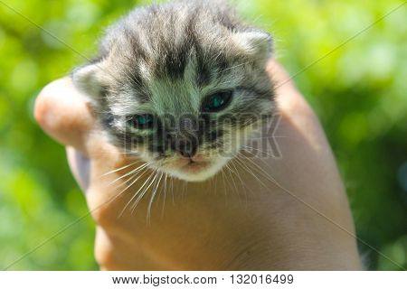 Striped newborn kitten in the human hand