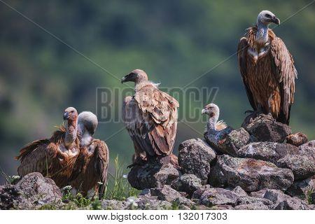Griffin Vulture (gyps Fulvus) In Wildlife Reserve Madjarovo, Bulgaria