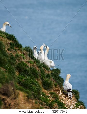 Gannets are seabirds comprising the genus Morus in the family Sulidae closely related to boobies. They have a maximum lifespan of up to 35 years. The gannets are large white birds with yellowish heads; black-tipped wings; and long bills.