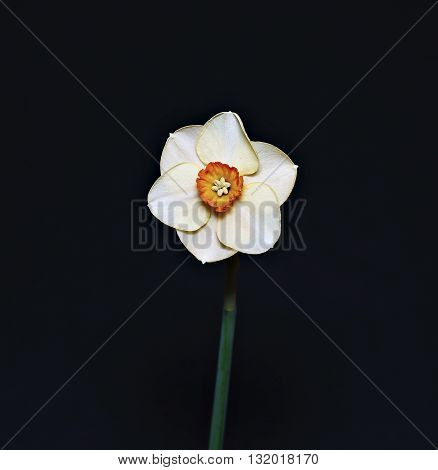 Delicate flower narcissus isolated on black background