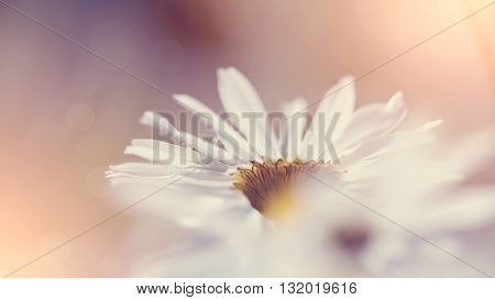 Inflorescence of a wild field flower of a camomile.
