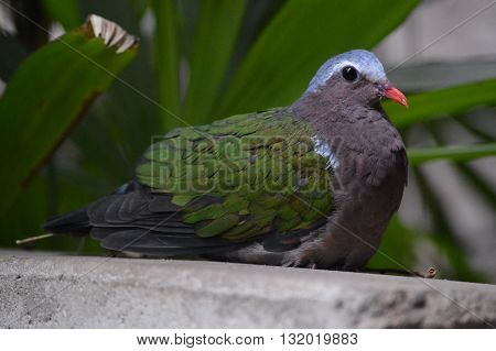 An Emerald pigeon on a cement ledge