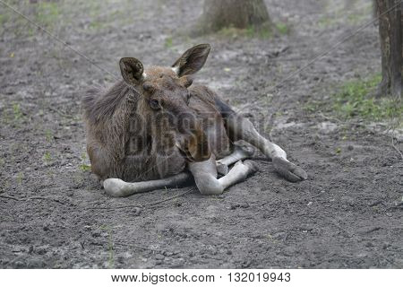 small moose resting lying on the ground