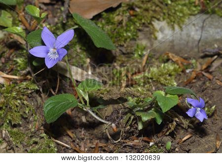Common Dog-violet - Viola riviniana Flowers and Leaves