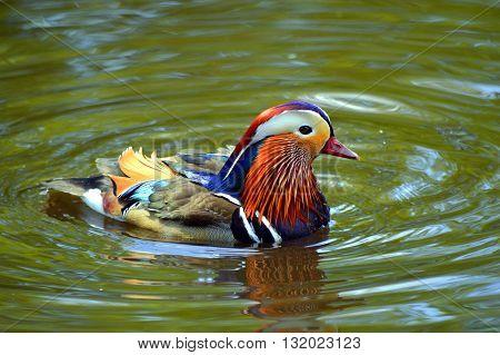 Male mandarin duck Latin name Aix galericulata