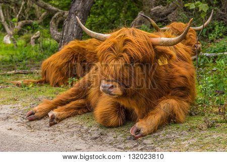 Scottish highlander in the forrest of Holland