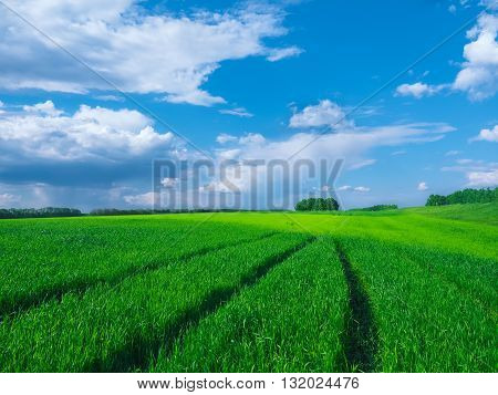 Road in a green field of wheat. Traces of agricultural transport on the grass on a sunny day