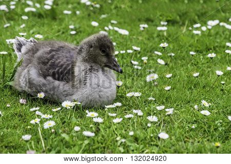 Cute gosling sitting on the grass amongst daisies
