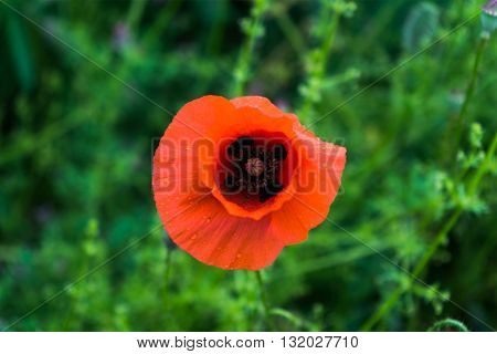 red Papaver rhoeas in a green field.