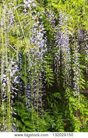 Delicate purple wisteria flowers in a waterfall effect