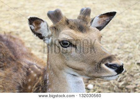 Close up  of a  fallow deer (damma or dama )