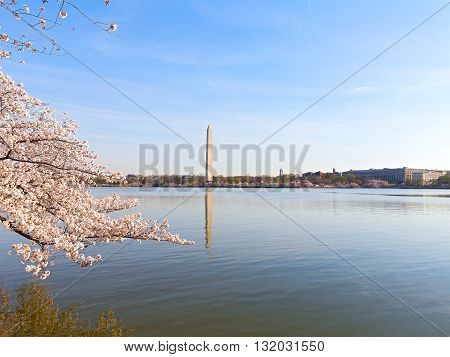 Washington Monument during the Cherry Blossom festival in spring. Blossoming cherries add to a scenic view of the US Capital cityscape.