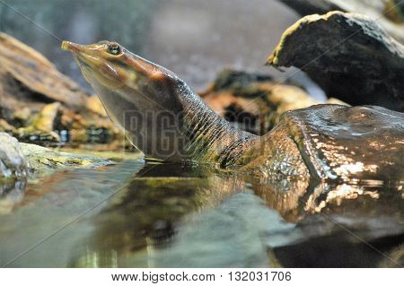 A soft shell turtle surfacing in the water