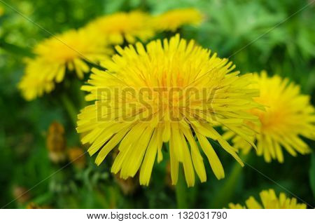 Large bright yellow dandelions. Nature blossoms in the spring in parks and gardens. Macro of a dandelion flower.