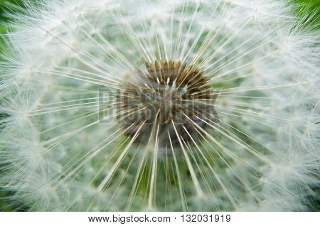 The background of the white seeds of a dandelion. Nature blossoms in the spring in parks and gardens. Macro of a dandelion flower.