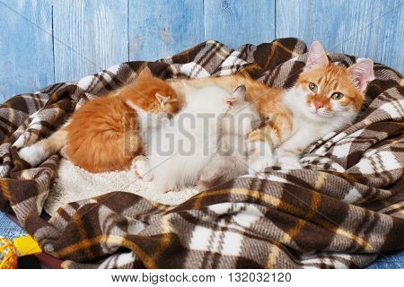 Ginger cat breastfeeding her little kittens. Motherhood, parenting, care. Orange cat nursing kittens at plaid blanket and blue rustic wood background.