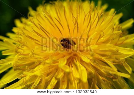 A family of beetles making love on a yellow dandelion. Life and reproduction of insects. Nature blossoms in the spring in parks and gardens. Macro of a dandelion flower. Mating insects.