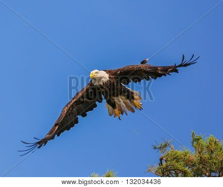 An eagle taking off from a tree