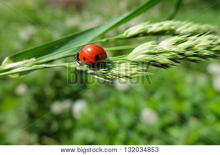 Ladybug sits on leaf. Cute beautiful insect. The insect specks.