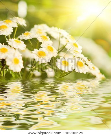 Chamomile flowers reflected in water