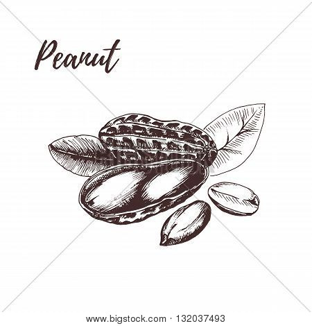Peanut. Peanut hand drawn sketch. Peanut vector illustration. Peanut. Peanut hand drawn. Peanut in vintage style.