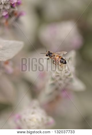 Honeybee, Apis mellifera, gathers pollen on a flower in Southern California, United States.