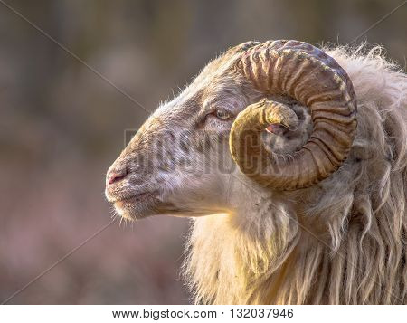 Ancient Breed Of Long-tailed Sheep