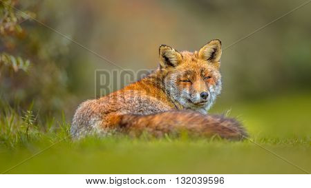 Old Grey European Red Fox Resting