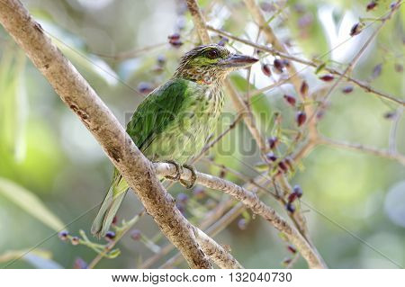 Green-eared Barbet Megalaima faiostricta Birds of Thailand
