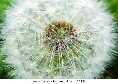 Fluffy white dandelion. Nature blossoms in the spring in parks and gardens. Macro of a dandelion flower.