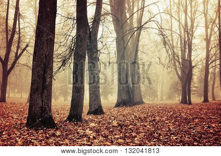 Foggy autumn landscape - autumn bare trees in the park in dense fog