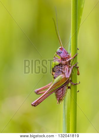 Juvenile Male Wart Biter
