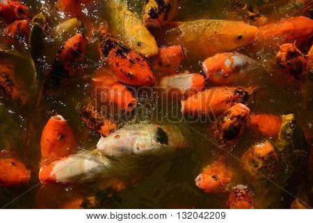 Koi fish in a zen pond for a tranquil outdoor setting