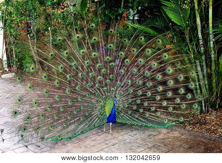 male peacock plumage on display in florida